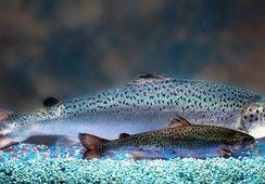 AquaBounty: FDA aprueba primera instalación para producción comercial de AquAdvantage Salmon