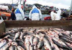 Más de una tonelada de salmón fue decomisada en el Canal de Chacao