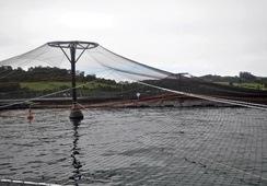 Marine Harvest plantea medidas correctivas ante proceso sancionatorio de la SMA