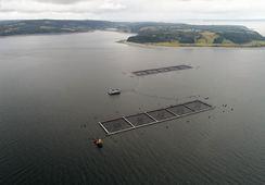 Peces escapados de centro de Marine Harvest no son aptos para el consumo humano