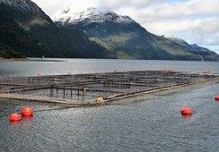 En 2020: 16 centros de salmón han sido certificados libres de antimicrobianos