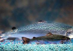 AquaBounty entabla conversaciones con China por acelerar la producción de salmón transgénico