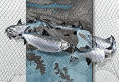 Argentina: ONGs se agrupan contra desarrollo de salmonicultura