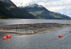 Chilean salmon farmers must reveal antibiotic use