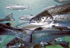Proyecto busca extender vida útil del salmón