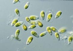 Microalgas ayudan en la descomposición del peróxido de hidrógeno en el mar