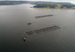 """Sernapesca: """"Pescadores que recapturaron salmones para Marine Harvest no serán sancionados"""""""
