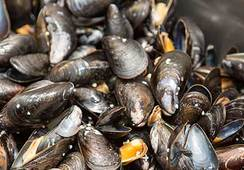 Mussels help salmon farmers during harmful algae blooms