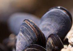 """Canadá: Científicos usan mejillones como """"centinelas"""" para detectar blooms de algas"""