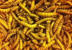 Innvilget midler til å produsere insektsmel