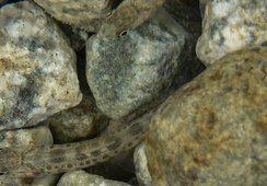 Oppdrettslaks i elva kan gi økt dødelighet hos villaksyngel