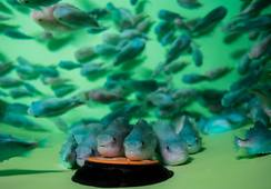 Feed, clean water and rest are keys to happy lumpfish
