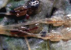 Científicos evalúan sinergia de sistemas preventivos contra el piojo de mar