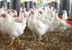 Empresa impulsa uso de plumas de pollo para alimentación animal