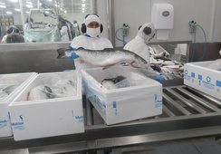 Salmón Atlántico chileno obtiene productividad histórica