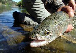 Llaman a extremar precauciones por parásito en salmones de agua dulce