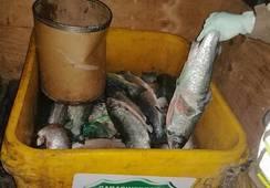 Incautan más de 400 kilos de salmón en Puerto Montt