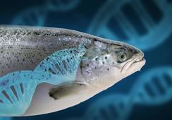Forskere har kartlagt to nye DNA-sekvenser hos regnbueørret