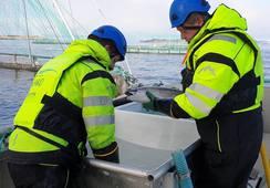 Solid år for Kvarøy Fiskeoppdrett