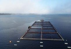 Mowi revela mayores productores de salmón Atlántico por país