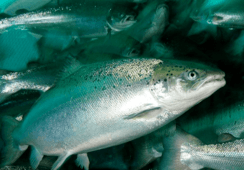Farm or wild upbringing 'doesn't affect salmon goodness'
