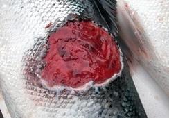 Brote de Tenacibaculosis alerta a científicos noruegos