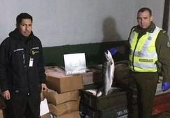 En Paillaco: Decomisan 1.100 kilos de salmón