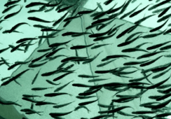 Experto detalla ventajas de usar sistemas de recirculación acuícola
