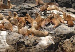 Planes de contingencia en interacciones con lobos marinos serán obligatorios
