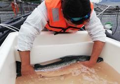 Salmonicultoras tendrán plataforma en línea para monitoreo de Caligus