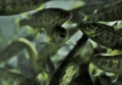 En Calbuco: Reingresan proyecto para cultivo en tierra de salmones
