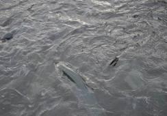 Noruega: Eliminarán uso de tratamientos térmicos para el salmón