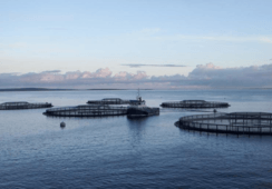 Early harvesting lowers Scottish Sea Farms' earnings in Q2