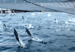 Salmonicultora chilena ingresa a reconocido ranking de sustentabilidad