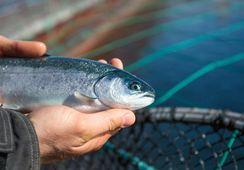 Nye publikasjoner: Varmt vann kan skade fisk