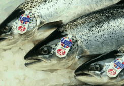 Scottish salmon exports worth extra £152m as production bounces back