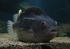 Lumpfish to be grown in Canadian hatchery