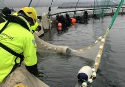 Vil bedre fiskevelferden med ny sorteringsnot for rensefisk