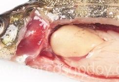 Caracterizan necrosis hepática en salmón Atlántico