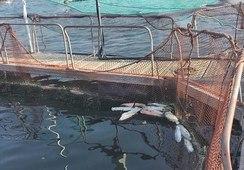 SMA ordena medidas provisionales contra Salmones Antártica