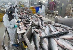 Cosechas de salmón Atlántico aumentaron 10% en 2019