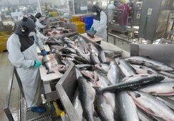 Llaman a extremar medidas para evitar contagios de Coronavirus en plantas de salmón