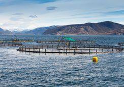 Endringer i IPN-viruset gjør fisken mer utsatt for sykdom