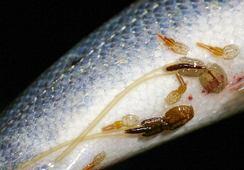 Lakselus kan gi svært høy dødelighet på utvandrende laks