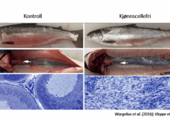 Ny forskning: Positive nyheter for steril laks