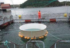 Investigación da a conocer los mejores métodos contra piojo de mar