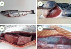 Nueva aplicación permitirá diagnosticar enfermedades del salmón mediante imágenes