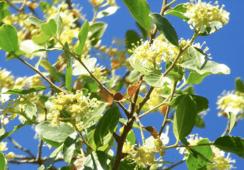 Extracto natural de quillay muestra prometedores efectos contra infección por SRS