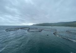 Rapport: Minst 3000 Mowi-fisk nådde elvene