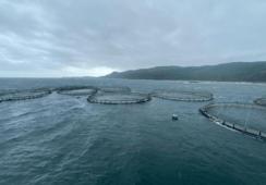 Informe: Al menos 3.000 peces de Mowi llegaron a los ríos de Escocia